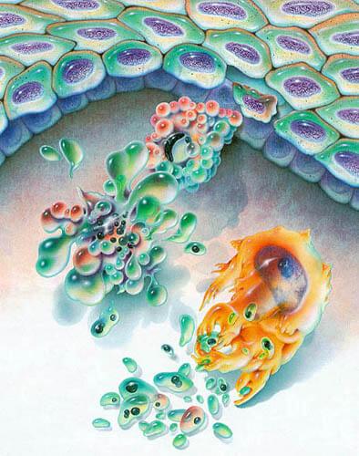 Apoptosis: El suicidio celular que nos mantiene con vida (I)