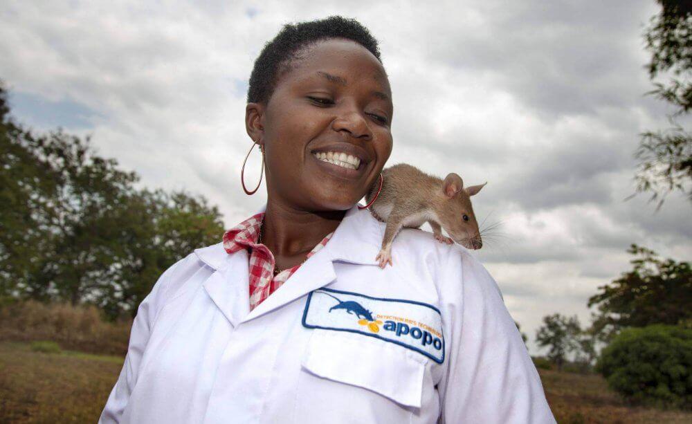 Ratas de Apopo