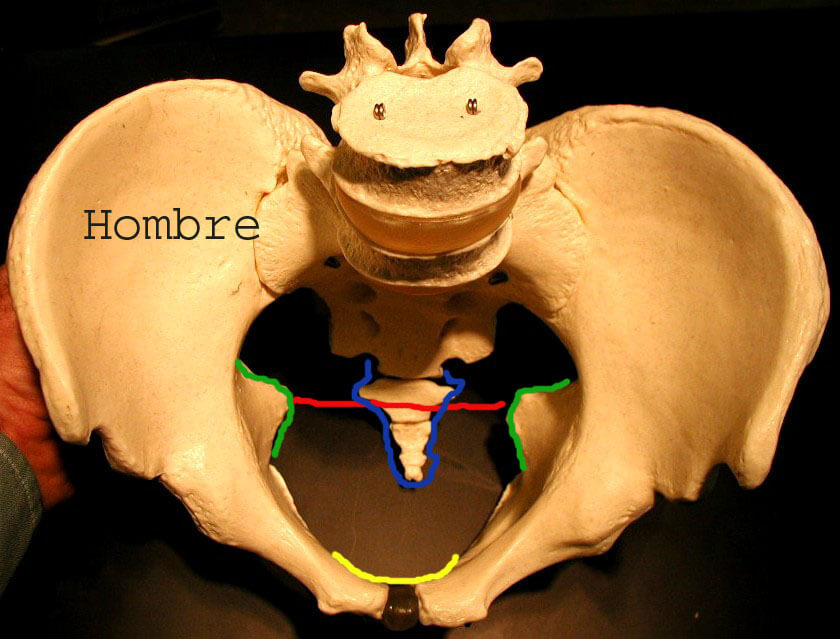 sexoesqueleto2 Cómo conocer el sexo de un esqueleto humano