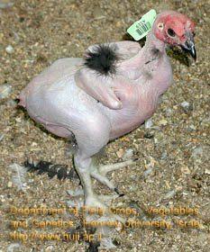 Pollo sin plumas