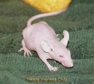 Ratón sin pelo