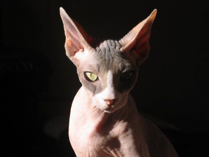 Sphynx [Gato Esfinge]